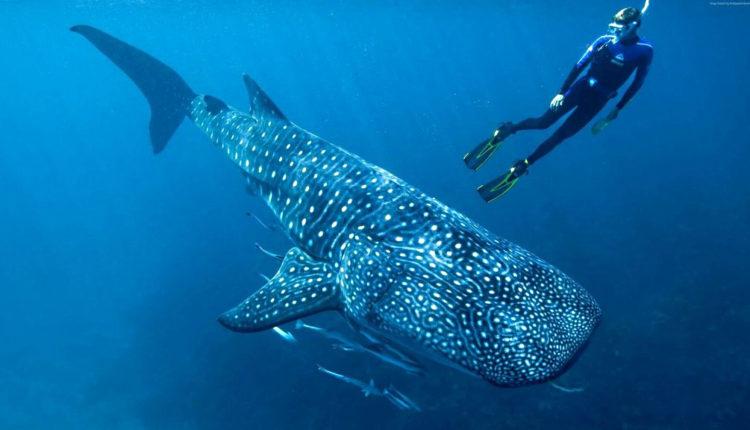 """هيئة البيئة – أبوظبي و""""ذا ناشونال اكواريوم"""" ينجحان في إنقاذ أحد أسماك قرش الحوت وإعادته إلى مياه الخليج العربي"""